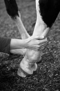 L'ostéopathie vétérinaire : soigner avec les mains